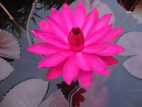 Grower's Choice Red Water Lily <br> Night Bloomer <br> We choose current nicest plant in the color spectrum <br>