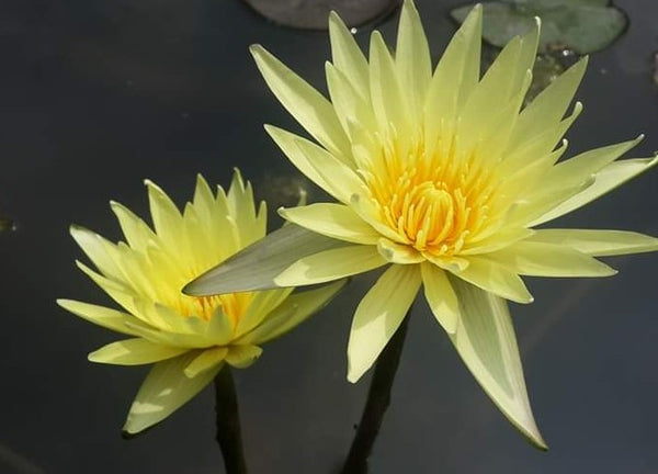 Grower's Choice Yellow Day Blooming Water Lilies <br>  Ships Spring 2020 !
