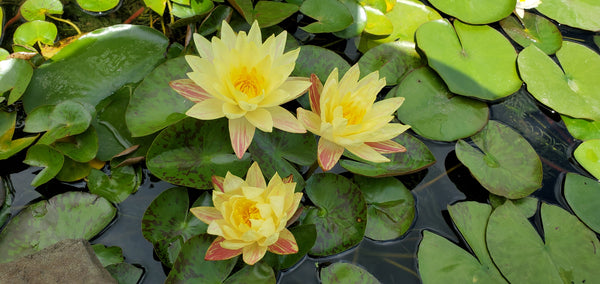 PARANEE <br> Medium Hardy Waterlily <br> Available April 2020