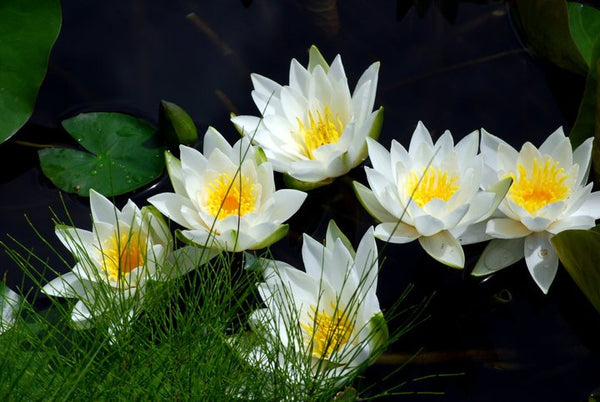 Pre-Potted White Waterlily  <br>  Pre-Potted, Pre-Grown <br> Plants Available Spring 2021