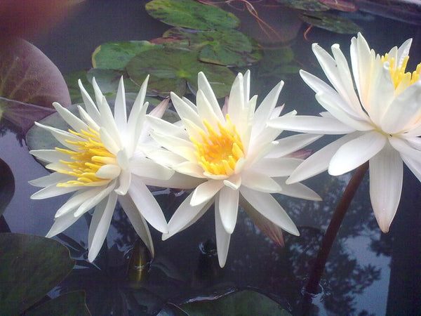 Starbright Hardy Waterlily <br> Medium to Large <br> A Pond Megastore Top pick!<br> Ships Spring 2021