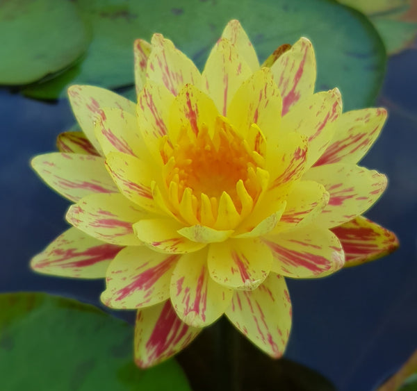 Lava Walk Hardy Waterlily <br> Medium <br> Plants Available Spring 2021