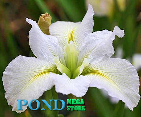 Acadian Miss, Louisiana Iris <br> Plants Available Spring 2021