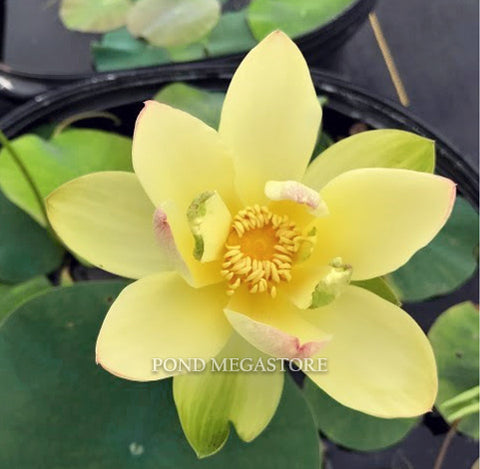 Ai Jiangnan Lotus <br> Dwarf/Small <br> Sunny-Yellow! <BR> Reserve Sacred Lotus in OCTOBER for spring 2021!