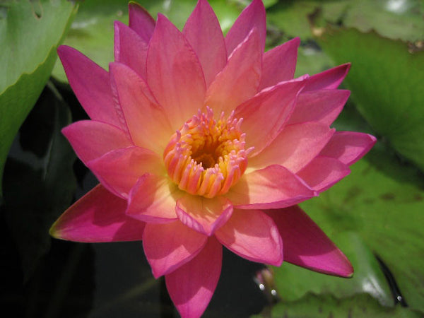 Albert Greenberg Water Lily<br>Day blooming <br> Medium-Large Water Lily <br> Plants Available Spring 2021