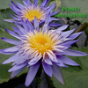 Alexis Water Lily <br>Day blooming <br> Large Water Lily <br> Ships Spring 2020 !