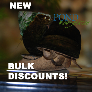 Trapdoor Pond Snails <br> (Bulk Quantity) From the fishery <br> Ships all year