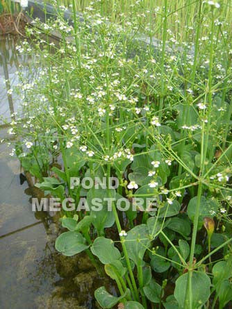 Aquatic Baby's Breath, Parviflora (Alisma Paviforum)