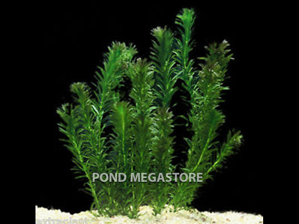 Anacharis (Elodea Densa) <br> Great Oxygenating plant and Tadpole food <br> Sold by the bunch 6-8 stems each