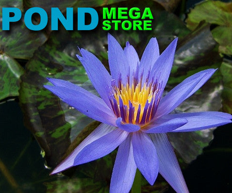 Anconas Waterlily <br> Medium-Large, Day Bloomer