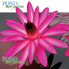 Antares Water Lily <br> Evening Blooming <br> Medium-Large Water Lily <br> Ships Spring 2020 !