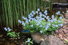 Forget Me Nots, Blue <br> (Myosotis scorpioides) <br> Winter Hardy / Shade loving