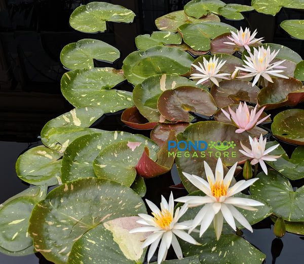 Arc-En-Ciel Waterlily <br> Heavy Blooming, Medium Water Lily  <br>