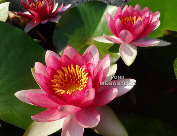 Attraction Waterlily <br> Medium Hardy Water Lily  <br>