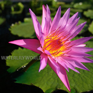 August Siebert Waterlily <br> Large Day Bloomer <br> Ships Spring 2020 !