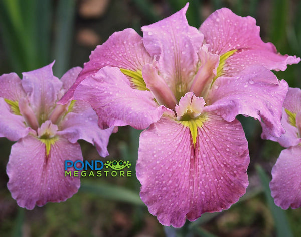 Aunt Shirley <br> Hardy Pink Louisiana Iris <br> New Item!