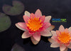 Aurora 'Orange-Changeable' <br> Dwarf-Small Hardy Water Lily <br>