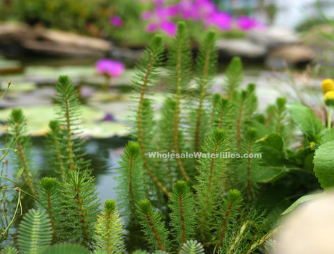 Feathery Marestail (Myrio. sp.) <br> Great for creeks and softening <br> edges of the pond<br>