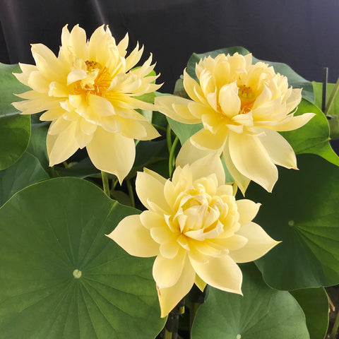 Autumn In Moling (Moling Qiuse) Lotus   <br> Medium  <br> Heavy Bloomer!  <BR> Reserve Now for Spring 2020 Delivery!