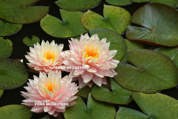 Awesome Hardy Water Lily <br> Huge Flowers, Large Plant <br> Ships Spring 2019!