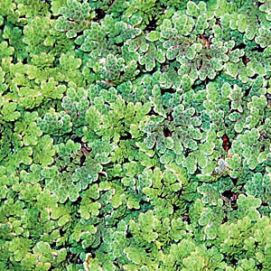 Azolla Caroliniana, Fairy Moss<br> Huge 1/2 lb portion! <br> Azolla is Available to ship to if you want over winter