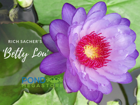 Betty Lou Water Lily <br> Day blooming <br> Available Early Summer 2020