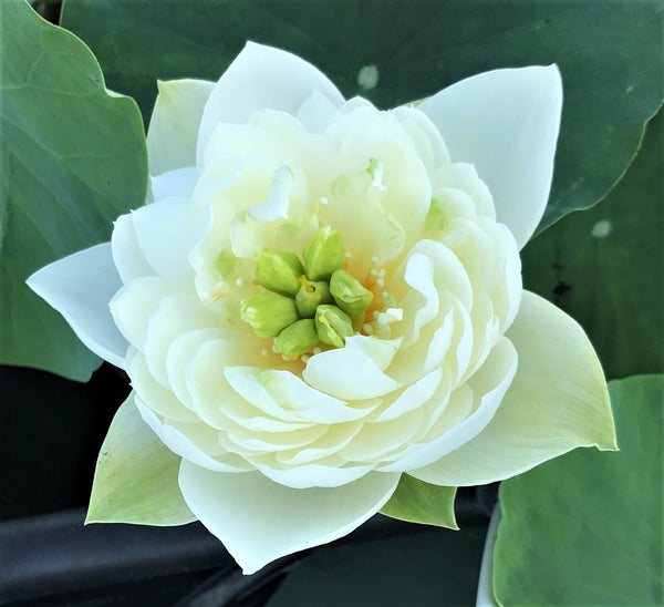 White Phoenix Lotus (Bai Feng Guang)  <br>  Bowl-Dwarf  <br>  Exquisite White Blooms! <BR> Reserve Now for Spring 2020 Delivery!