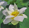 Baby Doll Lotus <br> Dwarf/Small <br> Delightful, white blooms! <BR> Reserve Sacred Lotus in OCTOBER for spring 2021!