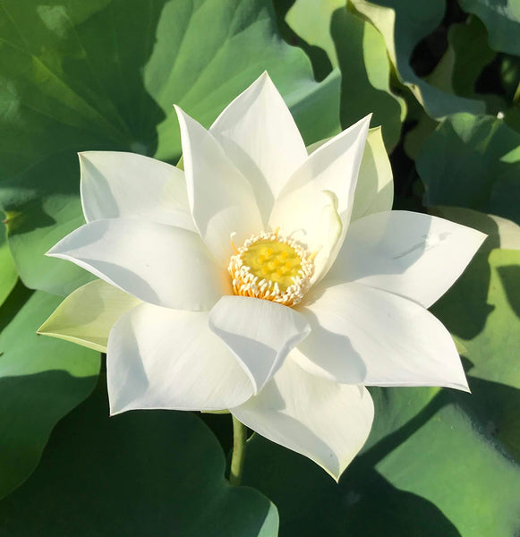 Baby Doll Lotus   <br>   Dwarf/Small   <br>   Delightful, white blooms!  <BR> Reserve Now for Spring 2020 Delivery!