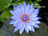 Bagdad Water Lily <br> Day blooming <br> Medium-Large Water Lily <br>