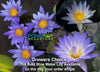 Grower's Choice Blue Water Lily <br> Day Bloomer <br> We choose current nicest plant in the color spectrum <br>