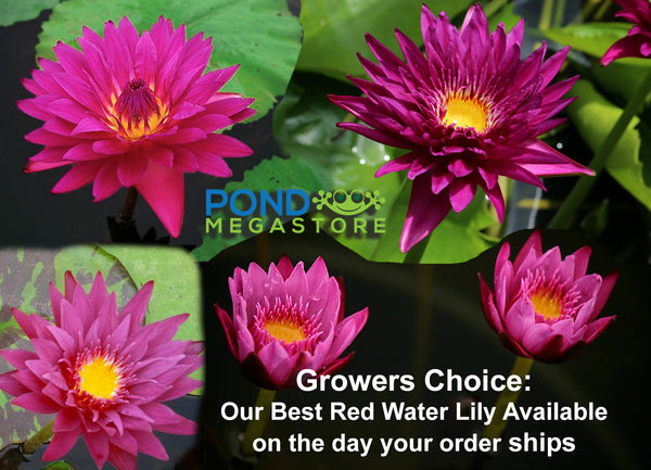 Grower's Choice Red Water Lily <br> Day Bloomer <br> We choose current nicest plant in the color spectrum <br>