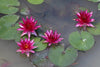 Black Cherry Hardy Waterlily <br> Medium <br> Plants Available Spring 2021