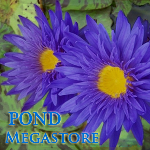 Blue Aster Waterlily