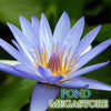 Blue Beauty Waterlily <br> Medium-Large, Day Bloomer