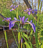 Blue Flag Iris <br> Native Plant <br>