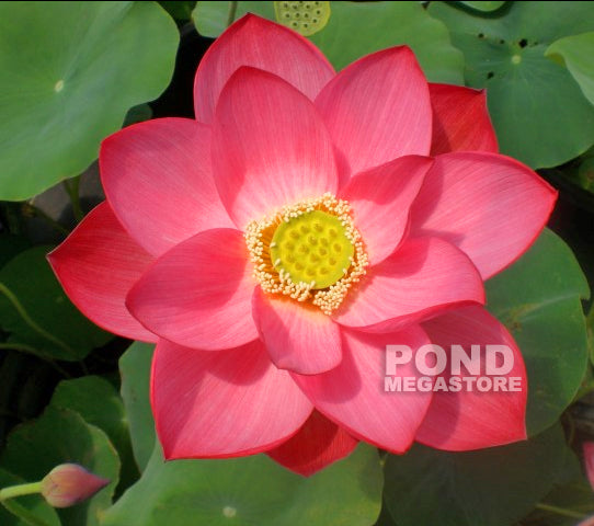 Bold Protector Lotus  <br> Top 20 Favorite!