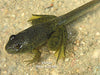 Bullfrog Tadpoles (Bulk) <br> Choose Bullfrogs or Green Frogs<br> Ships all year from our fishery
