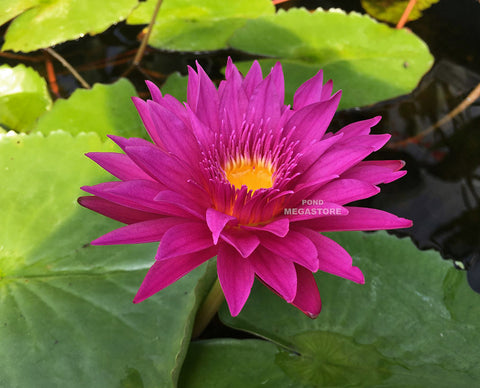 Bull's Eye Water Lily <br> Day blooming <br> Medium Water Lily <br>