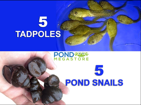 5 Live Trapdoor Snail & 5 Live Tadpole Package!