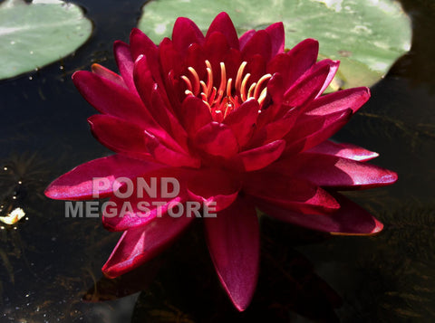 Cranberry Waterlily
