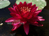 Cranberry Hardy Waterlily <br> Large Waterlily <br> Plants Available Spring 2021