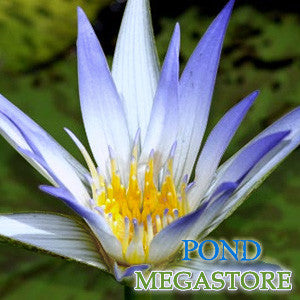 Caerulea Waterlily Water Lily <br> Day blooming <br> Medium Water Lily <br> Let us Catch up on Shipping! WATERLILIES RETURN APRIL 18th 2021