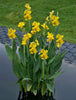 Ra, Aquatic Yellow Canna <br> Live pond plants! <br> Grows in or out of the pond!