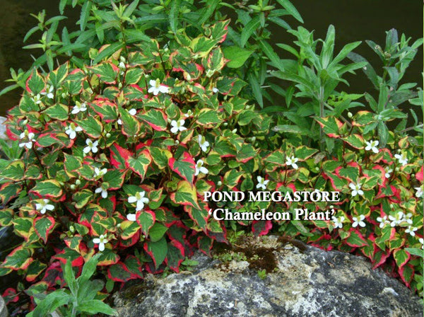 Chameleon Plants<br> (Houttuynia Cordata Variegata) <br> Plants Available Spring 2021