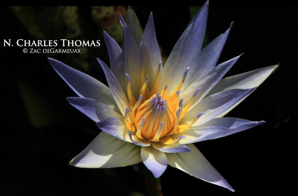 Charles Thomas Waterlily (Day Blooming Waterlily) <br> SHIPPING NOW!