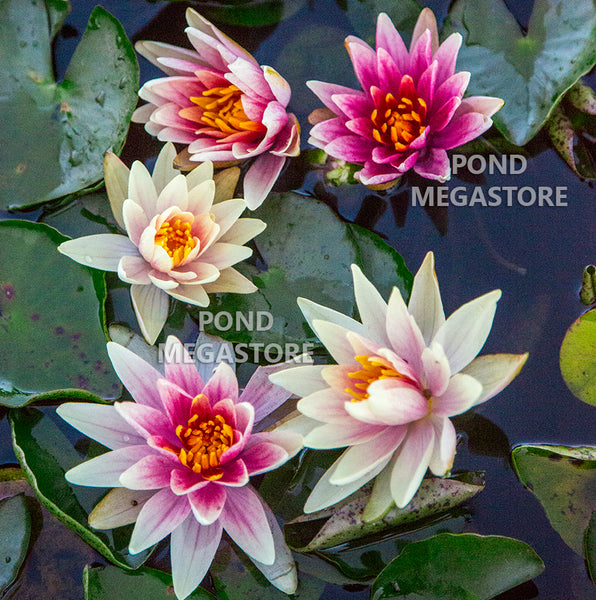 Charlie's Choice Hardy Waterlily <br> Small - Medium