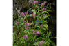 Pink Turtlehead (Chelone Galbra) <br> New!