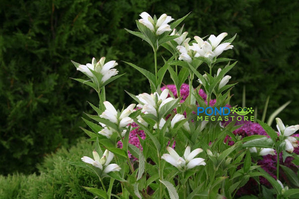 White Turtlehead (Chelone Obliqua) <br>