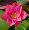 Chu Chu Lotus <br> Dwarf <br> Heavy Bloomer! <br> Zac's Top 10 Selection! <BR>RESERVE SACRED LOTUS in OCTOBER for spring 2021!